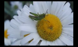 Natures Praise Grasshopper Flower Video